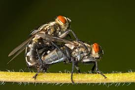 houseflies