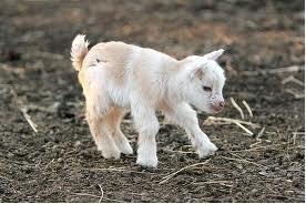 10_alamoud the goat, crop1